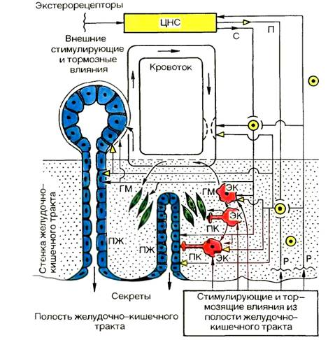 Механизмы регуляции секреции и