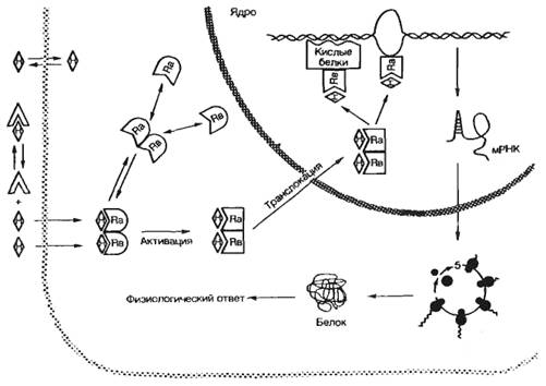 Механизм действия стероидных