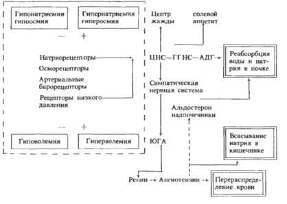 Схема 12.1. Регуляция водо- и
